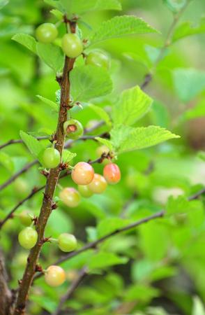 Nanking cherry (Prunus tomentosa)