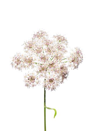 Golden chervil (Chaerophyllum aureum)