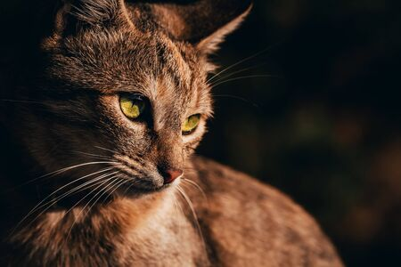 Portrait of cat on dark background. Wild cat predatory look with glowing green eyes and long white mustache, outdoor