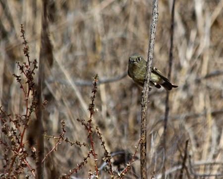 songbird on a twig