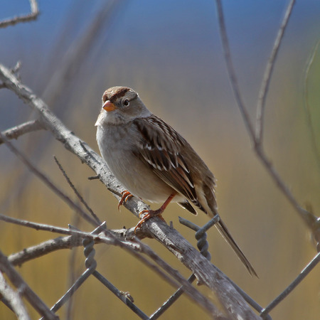 songbird: songbird sitting on a branch