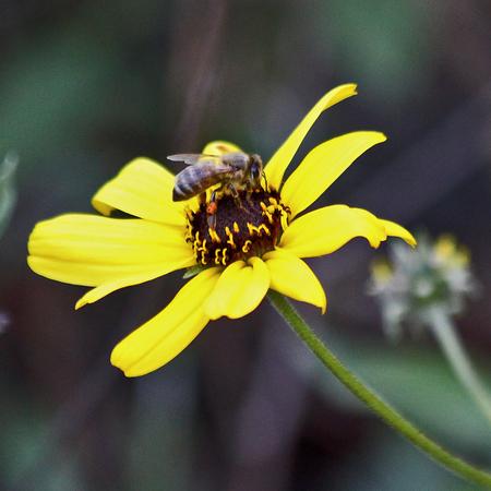 honeybee: Honeybee on a yellow daisy