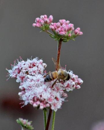 honeybee: Honeybee on a pink flower