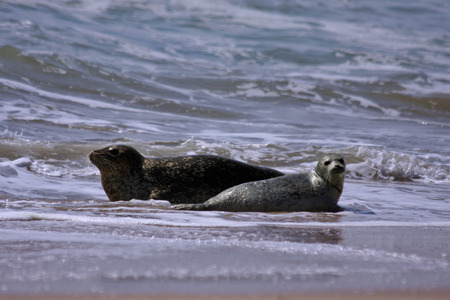 semi aquatic: Mother Seal and two babies playing in the surf