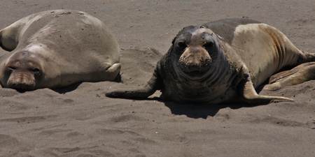 semi aquatic: Sea Lions Sunbathing on a sandy beach