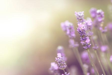 fond d'écran de fleurs de lavande avec espace copie libre pour le texte et l'illustration - humeur lumineuse rêveuse lumineuse - profondeur de champ limitée