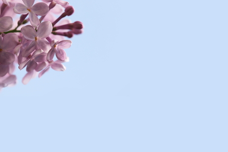 pink lilac blossom branch on large sky blue background - nice vivid colors - copy space for text Banque d'images - 101224208