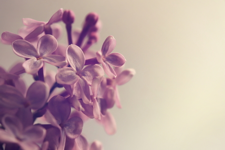 pink lilac blossom branch on light beige background - muted colors with vintage flair - copy space for text Banque d'images - 101174138