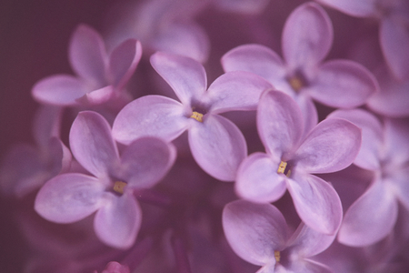 close up of ultraviolet lilac blossom branch - limited depth of field - muted surrounding with vintage flair and intended picture grain Stock Photo