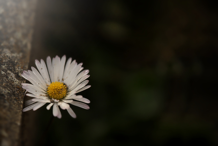 single daisy blossom beneath weathered stone kerb in dark thoughtful light mood - free copy space for text and inspiratioal quotes - grief concept 版權商用圖片