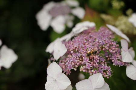 Colorful Hydrangea with bee collecting nectar in front of blurred background - Hydrangea aspera sargentiana 版權商用圖片