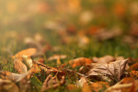 Close up of first autumn leaves on green meadow in bright morning sunlight - background blanked out blurry