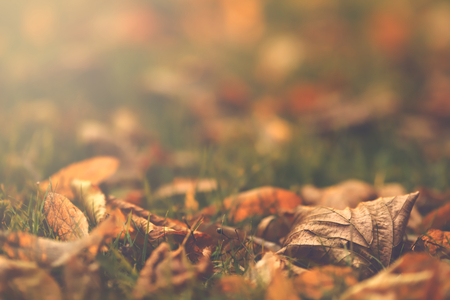 Close up of first autumn leaves on green meadow in bright morning sunlight - matte vintage look - background blanked out blurry