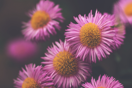 close up of pink aster blossoms in dreamy matte light mood - background blanked out blurry 版權商用圖片