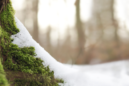 Green moss on roots of a tree partially covered with snow on a bright sunny winter day - background and foreground blanked out blurry
