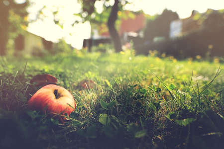 delicious natural apple lies in grass in a bright garden scene in late summer - selective focus with excessive blur