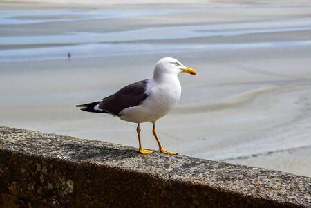 A seagull is standing on the concrete wall at Mont Saint Michel, with a low tide as blurred background