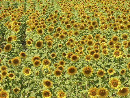 sunflower Reklamní fotografie - 247595