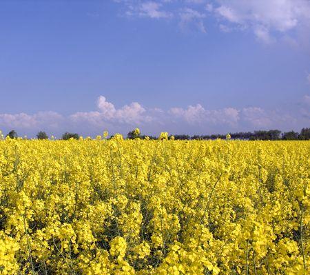 rapeseed: Rapeseed field Stock Photo