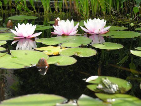Flower in a pond Reklamní fotografie
