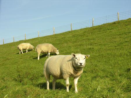 sheeps Reklamní fotografie - 258815