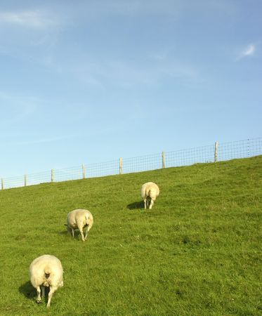 three sheep Reklamní fotografie - 261435