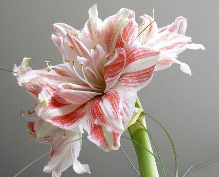 pink amarilis
