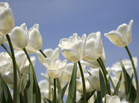 catchy: white tulips