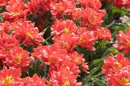 red tulips Stock Photo - 414886