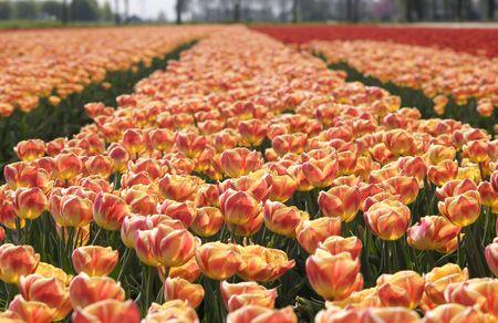 entrepreneurial: tulipfield