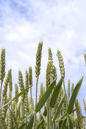 wheat Reklamní fotografie
