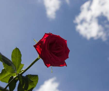 roze: roze