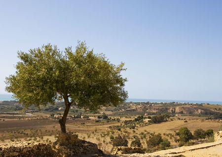 olive tree Reklamní fotografie