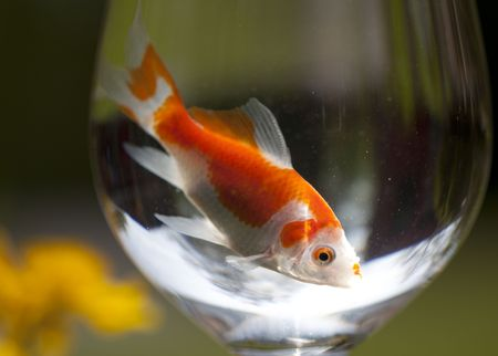 a goldfish in a wine glass photo