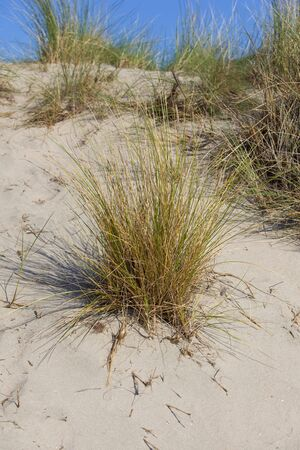 grass in the dunes with blue sky photo