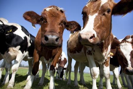 dutch cow in detail with blue sky Reklamní fotografie