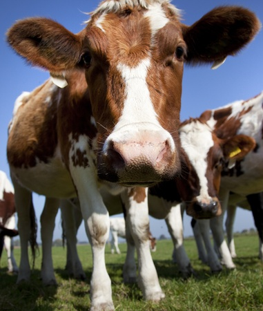 dutch cow with blue sky Stock Photo