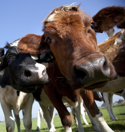 holstein: dutch cow in detail with blue sky Stock Photo