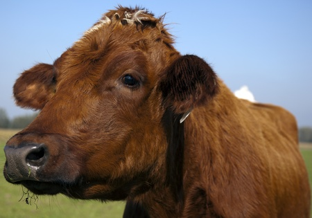 heffer: dutch cow in detail with blue sky Stock Photo