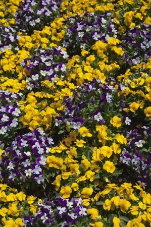 Viola flower field  photo