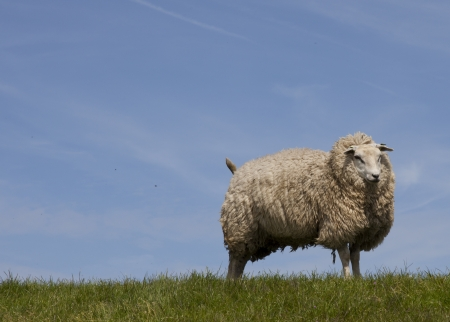 wolly: wolly sheep with blue sky