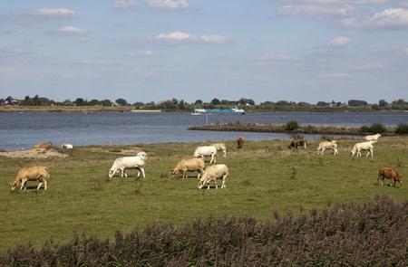 cows in a typical dutch landscape