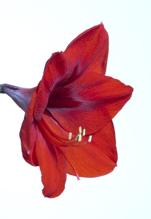 red amarilis on a with background