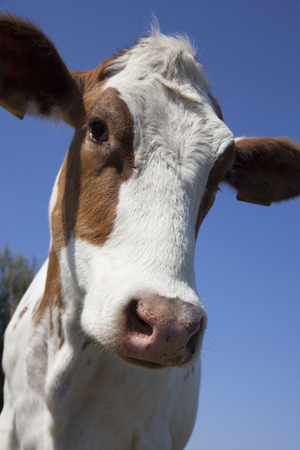 dutch cow with blue sky Reklamní fotografie
