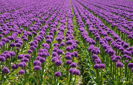 dutch garlic purple flowering plant Reklamní fotografie