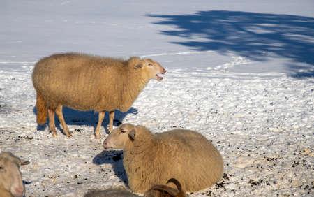 Wintertime: sheep in snowy meadow in the Netherlands Reklamní fotografie