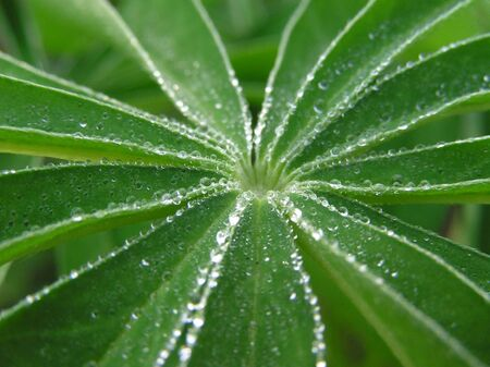 Dew drops on a green leaves of flower close-up photo