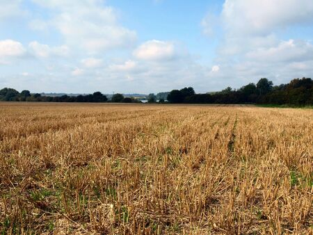 stubble field: Corn field with stubble after harvesting. Stock Photo