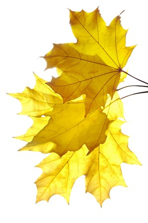 three leaf: Bunch of yellow maple leaves isolated