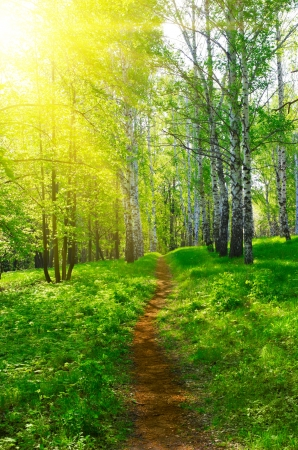 Pathway at spring sunny birch forest